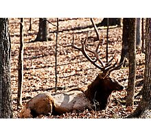 Sleeping Elk Photographic Print