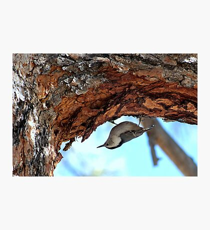 Nuthatch In Search For Food Photographic Print