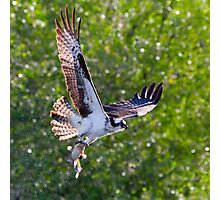 Osprey with Mudcat Photographic Print