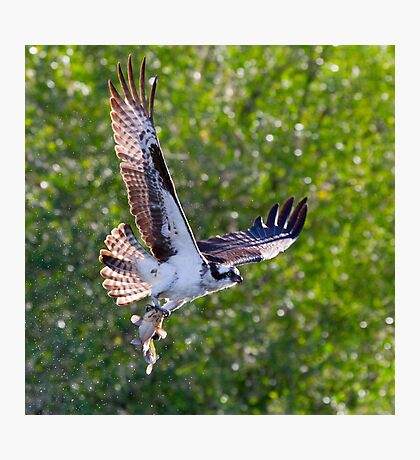 Osprey with Mudcat Photographic Print