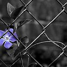 Beauty Behind A Fence by georgiaart1974