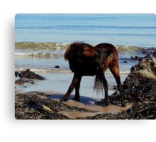 South Devon Dartmoor Pony Biteing Its Rear And Tail On Remote Beach. Canvas Print