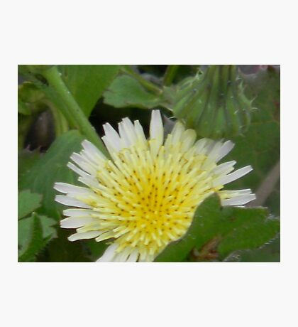 White Dandilion Photographic Print