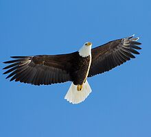 Bald Eagle by michelsoucy