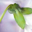 Soft Pansy by Anita Pollak