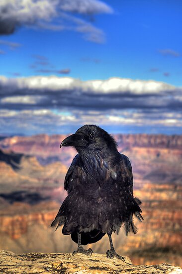 Canyon  Raven by Diana Graves Photography