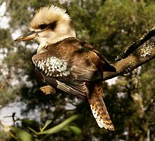 Come on, take more photos of me...!  young kookaburra posing by Reneefroggy