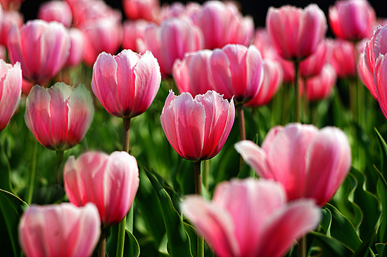 High Park Tulips by KatMagic Photography