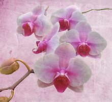 Pink Moth Orchids - Phalaenopsis by MotherNature