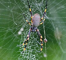 Orb weaver spider by jozi1