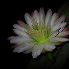 Night Cactus Flower by Geoffrey Higges