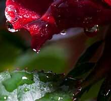 macrose with some dew by photo-Art