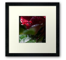 macrose with some dew Framed Print