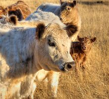 Maggie - Galloway Cows, Kanmantoo, The Adelaide Hills by Mark Richards