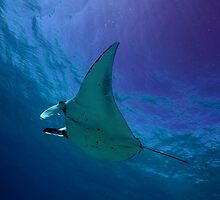 Manta Flight by paulmarkey