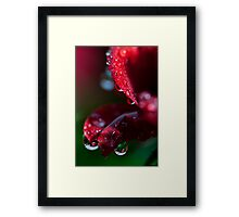 macrose2 with some dew Framed Print