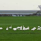 Life On The Solway - The Swans From Iceland by Jamie  Green