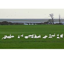 Life On The Solway - The Swans From Iceland Photographic Print