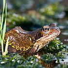 Common frog in pond by Angi Wallace