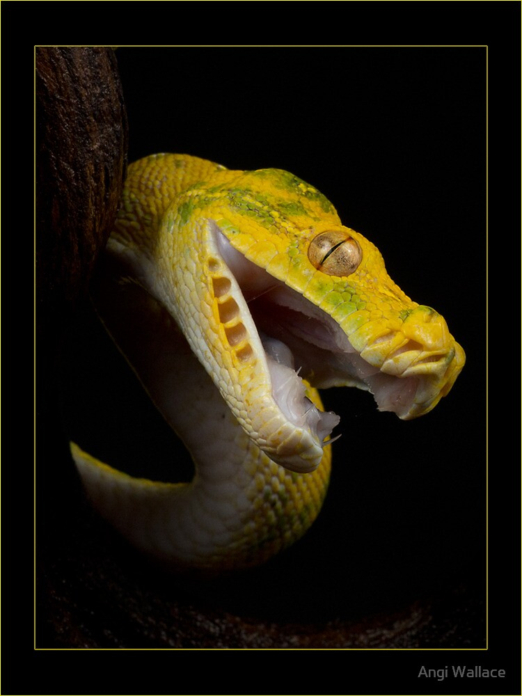Angry green tree python by Angi Wallace