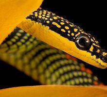 Paradise snake headshot by Angi Wallace