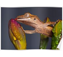 Drinking Crested gecko Poster