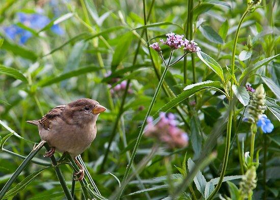 Sparrow by Dan Lauf