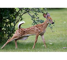 Spotted Fawn Photographic Print