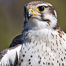 Portrait of a Prairie Falcon by Bryan Peterson