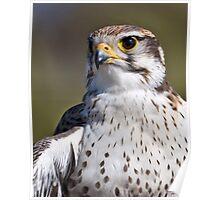 Portrait of a Prairie Falcon Poster