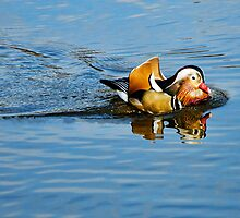 Mandarin Duck ~ Mangerton Mill by Susie Peek