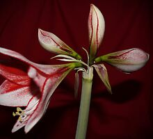 My Amaryllis by AnnDixon