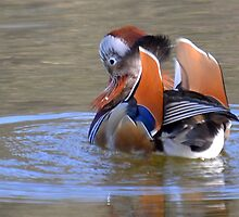Mandarin Duck by lynn carter