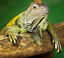 Iguana by hebrideslight