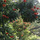 African Tulip Trees -  ...Arboles De Tulipa  by Bernhard Matejka