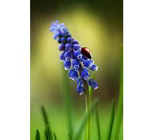 Muscari lady Photographic Print
