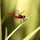 The Red Dragon by Karue
