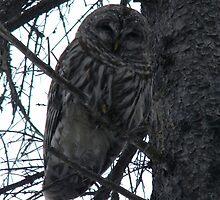Barred Owl by Alyssa Cuthbert