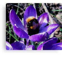 BUMBLE BEE IN CROCUS Canvas Print