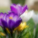 Crocus Flowers by JEZ22