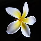 Fallen Frangipani by Trish Meyer