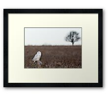 Snowy Owl in a field Framed Print