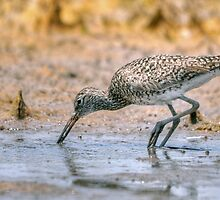 Eastern Shore Willet by Monte Morton