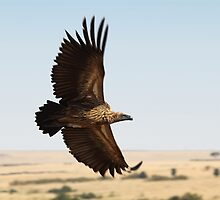 In Flight: White-backed Vulture by Carole-Anne
