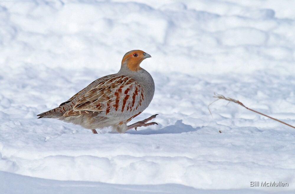 Best Foot Forward - Gray Partridge by Bill McMullen