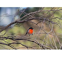Scarlet Robin Photographic Print