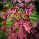 Autumn Maple by J. D. Adsit