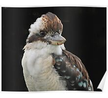 Laughing Kookaburra portrait Poster