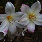 Bella Donna Lilies by Geoffrey Higges