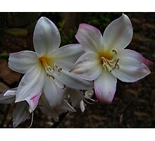 Bella Donna Lilies Photographic Print